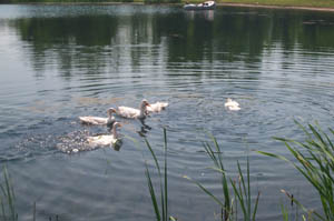 Ducks swimming in fishing pond